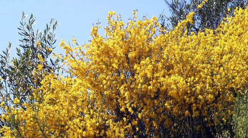 Giestas Amarelas - A Festa das Maias no Alto Douro | Tradições