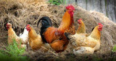 Provérbios sobre as aves e outros animais