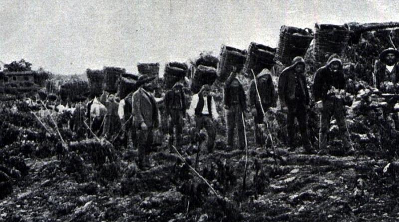 Vindimas na região dou Douro, em 1901
